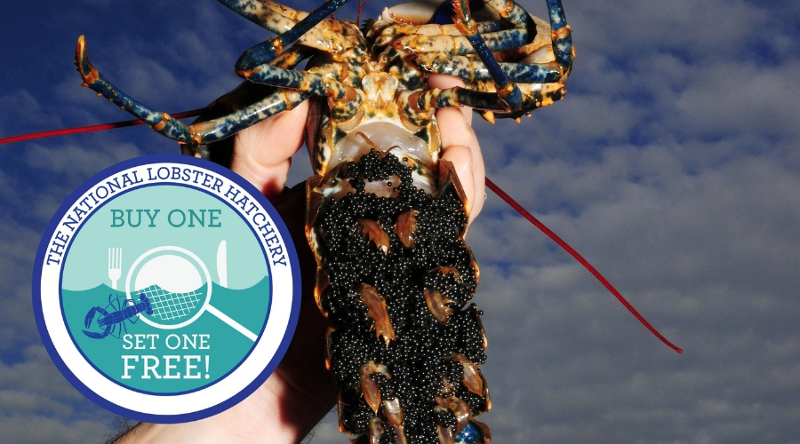 Working with The National Lobster Hatchery